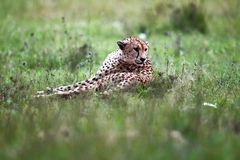 Vigilant cheetah Royalty Free Stock Photo