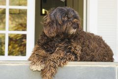 Vigilant cute dog. Vigilant shaggy dog in front of a house. It s a portuguese waterdog Stock Photography