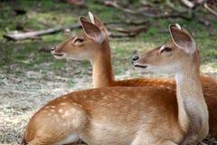 Vigilant deer Stock Photo
