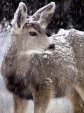 Vigilant Doe. Female mule deer in a Colorado snowstorm Royalty Free Stock Image