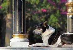Vigilant Dog. Alert and vigilant black and white dog on watch duty Royalty Free Stock Image