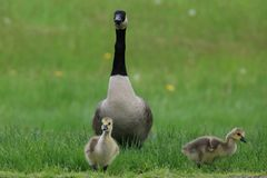 Vigilant Goose family Stock Photography