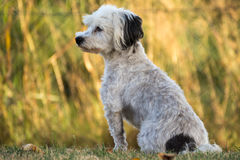 Vigilant little dog. White small dog - Havanese - sitting watchful in grassland Stock Images