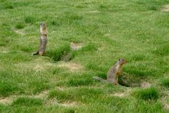 Vigilant Marmots Royalty Free Stock Photography