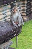 Vigilant monkey at Angkor Wat, Cambodia. A solitaire  monkey at the ruins of Angkor Wat, Cambodia Royalty Free Stock Image
