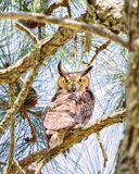 Vigilant Owl. Adult owl staring down from a tree on a sunny day Stock Photography