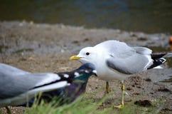 Vigilant seagull in summer. Vigilant seagull on summer pond shore Stock Photos