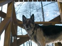 Vigilant Dog On Veranda. A vigilant shepherd dog standing on wooden veranda, low angle shot Royalty Free Stock Photo