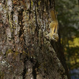 Vigilant squirrel. On trunk looking for food Stock Photography