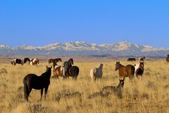 Vigilant stallion watches his wild herd of horses in Wyoming. Wild horse herd in tranquil scene with watchful leader in McCullough Wild Horse Management Area Stock Images