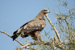 VIGILANT Steppe eagle AT JORBEER OUTSKIRT BIKANER. The Steppe Eagle Aquila nipalensis is a bird of prey . This is a large eagle with brown upperparts and Stock Images
