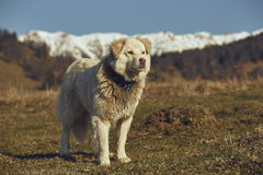 Vigilant white furry sheepdog. With spiky metal collar, standing in the pasture up in the mountains Stock Images