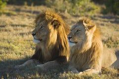 Vigilanza del leone Immagine Stock Libera da Diritti