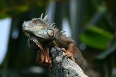 vigilanza dell'iguana Immagini Stock