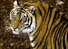 Vigilanza della tigre Fotografie Stock
