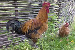 Vigilar del gallo gallina Fotos de archivo