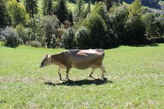 Vigili Del Fuoco Santa Maddalena, Funes krowa - obrazy royalty free