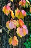 Viginia Creeper in de Herfst Stock Foto's