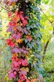Viginia pełzacz w jesieni Fotografia Royalty Free