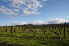 Vigna in Aude, Occitanie nel sud della Francia Immagine Stock