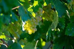 Vigna bianca dell'acino d'uva della bio- cantina in Provenza, a sud della Francia fotografia stock libera da diritti