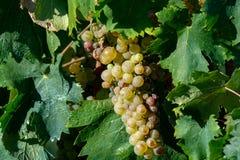 Vigna bianca dell'acino d'uva della bio- cantina in Provenza, a sud della Francia fotografia stock