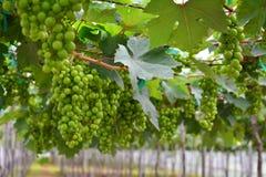 Vigna, cantina, uva, verde Fotografia Stock