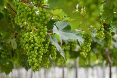 Vigna, cantina, uva, verde Fotografie Stock