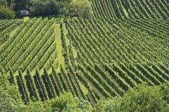 Vigna collinosa #10, Stuttgart Immagini Stock Libere da Diritti