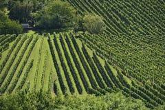 Vigna collinosa #11, Stuttgart Fotografia Stock
