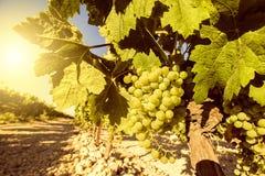 Vigna con l'uva Fotografia Stock