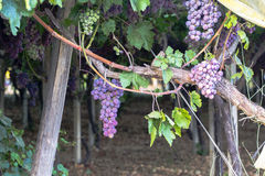 Vigna con l'uva matura Fotografie Stock