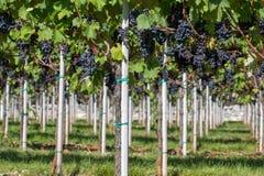 Vigna con l'uva matura Fotografia Stock Libera da Diritti