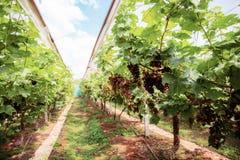 Vigna con l'uva matura in Tailandia immagine stock libera da diritti