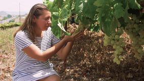 Vigna con l'uva rossa video d archivio