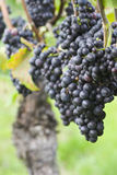 Vigna con l'uva rossa Fotografie Stock Libere da Diritti