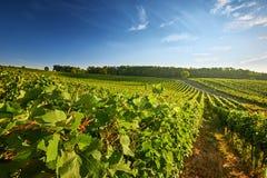 Vigna con le file dell'uva e delle viti Fotografie Stock