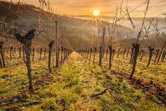 Vigna con le viti ed il sole nel cielo Fotografia Stock Libera da Diritti