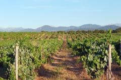 Vigna in Corsica Immagine Stock Libera da Diritti