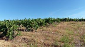 Vigna in Corsica Immagini Stock Libere da Diritti