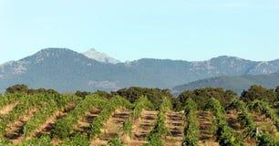 Vigna in Corsica Immagini Stock