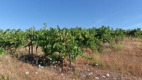 Vigna in Corsica Fotografie Stock Libere da Diritti