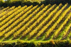 vigna d'autunno Fotografie Stock Libere da Diritti