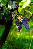 Vigna degli acini d'uva al tramonto, autunno in Francia Immagine Stock Libera da Diritti