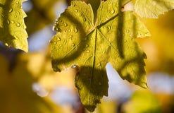 Vigna del Chardonnay in autunno fotografia stock