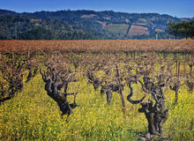 Vigna del Napa Valley, paese di vino California Immagini Stock Libere da Diritti