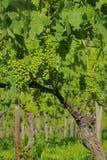 Vigna del pinot nero dell'uva Fotografie Stock