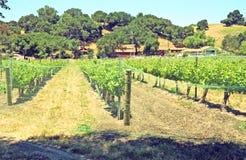 Vigna del vino Fotografia Stock