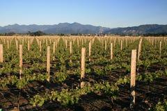 Vigna del vino bianco Fotografia Stock Libera da Diritti