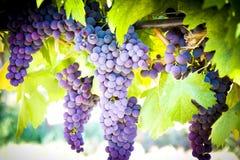 Vigna del vino rosso Immagini Stock Libere da Diritti